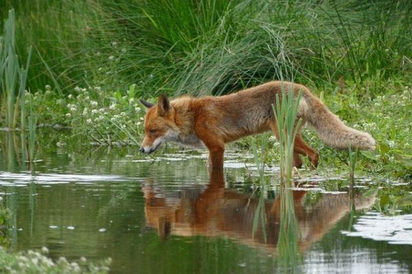 fuchs-symbolisch-coyote-teaching-mentoring